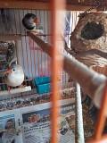 Амадины зебровые