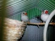 Амадины и волнистый попугай