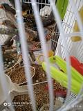 Птички Амадин