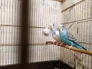 Волнистые попугаи пара молодые