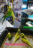Ручные волнистые попугайчики