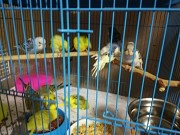 Птица, волнистые попугаи