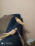 Птенцы попугаев корелла (бронирование)