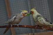 Попугай корелла молодые домашние Ручные