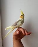 Супер ручной попугай корелла