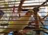 Продаются птенцы попугая Корелла.