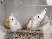 Попугай Корелла.