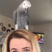 Попугай Жако