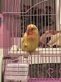 Попугай неразлучник(комплект)