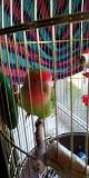 Попугаи неразлучники молодые