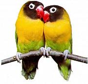 Попугаи неразлучники