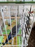 Волнистые попугаи на разведение