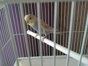 Волнистый попугай девочка