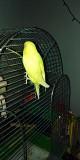Попугай Волнистый-Альбинос