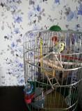 Продам волнистого попугая девочка вместе с клеткой