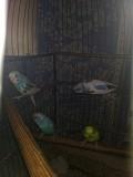 Волнистые попугайчики от заводчика