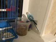 Волнистый попугай . Голубой. Девочка. 1г 8 м