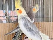 Птенцы корелла