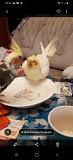 Попугай Корелла птенцы