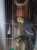 попугай Корелла (самец)