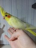 Продам попугая кореллу