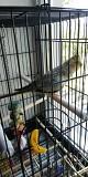 Птенец попугая корелла