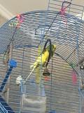 Попугай неоно лимонный