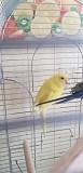 Редкий волнистый попугай
