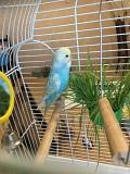 Волнистый попугай мальчик