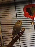 Волнистые попугаи, мальчик(1год), девочка(3мес)