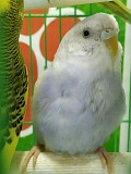 Птенец волнистого попугая+ новая клетка.