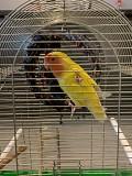 Неразлучники- попугаи