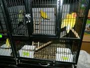 Птенцы неразлучников
