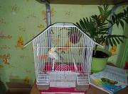 Папугай корелла отдам вместе с клеткой и кормом
