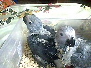 Птенцы выкормыши жако