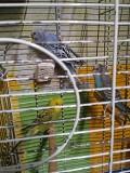 Волнистых Папугаайчиков