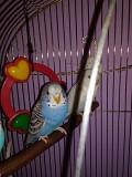 Ручные птенцы волнистых попугайчиков