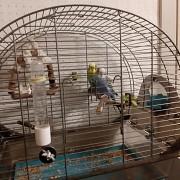 Пара волнистый попугаев с клеткой