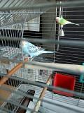 Волнистые попугаи птенцы