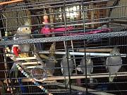 Корелла(птенц) с клеткой и кормом на месяц