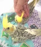 Молодой ручной попугай корелла