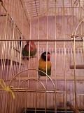 Попугаи неразлучники пара с двумя клетками