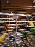 Попугай-неразлучник-красавчик