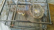 Пара Канарейки и птенцов