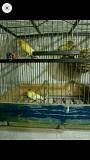Семья канареек, с клеткой и с птенчиками