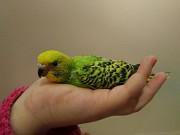 Птенчики попугая