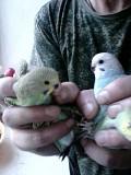 Птенцы папугоя неразличника и волнистого.
