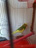 Волнистый попугай с клеткой (продам)