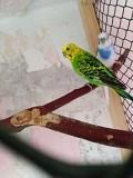 Волнистые попугайчики