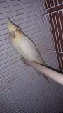Попугай корелла птенец(самец)